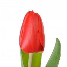 Красные тюльпаны поштучно