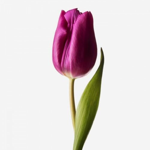 Фиолетовые тюльпаны поштучно