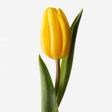 Желтые тюльпаны поштучно