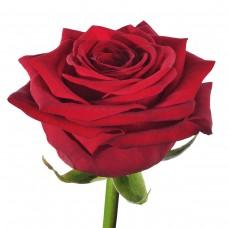 Роза Gran Pri