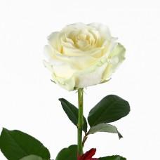 Роза Avalanche