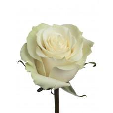 """Импортная роза """"Mondial"""""""