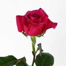Роза Shangri La