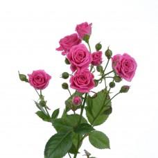 Кустовая роза Lovely Lydia