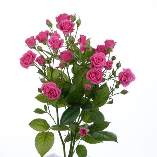 Кустовая роза Лавли Лидия