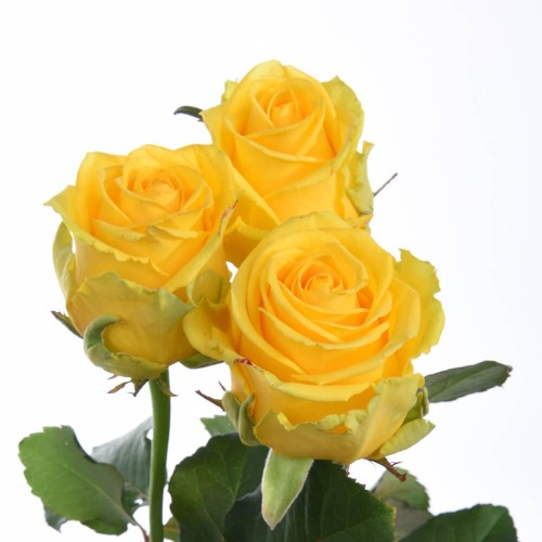 11 желтых роз