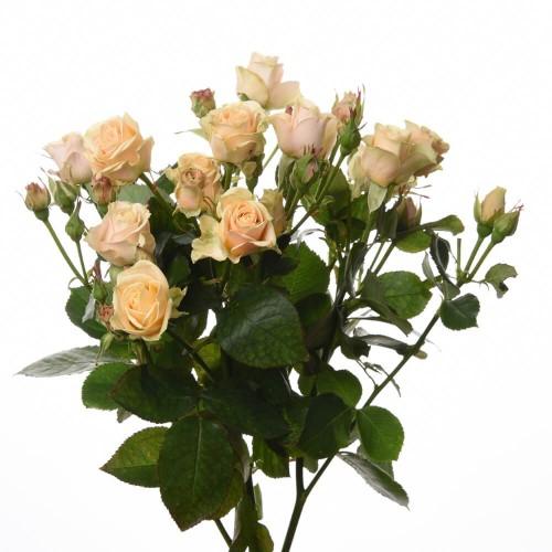 Кустовая роза Yana
